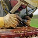 Arılar Neden Ölüyor?